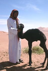 Bedu mit Kamelbaby